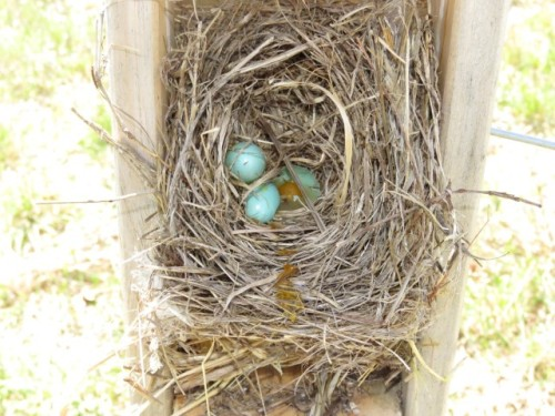 Failed BB early nest - broken egg (Medium) (Small)